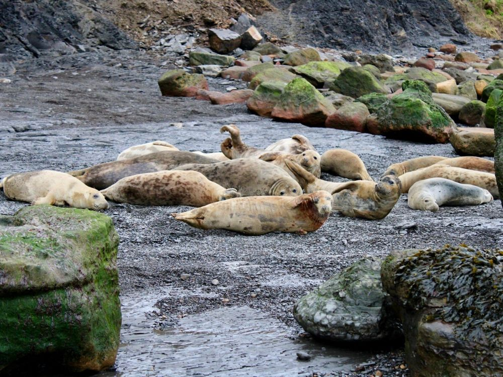 A seal colony at Ravenscar Beach in Yorkshire