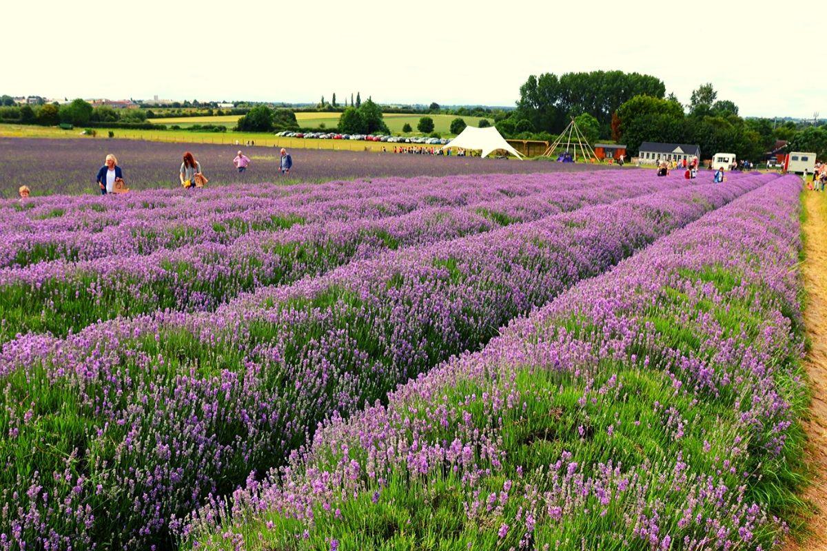 Hitchin Lavender farm car park and cafe