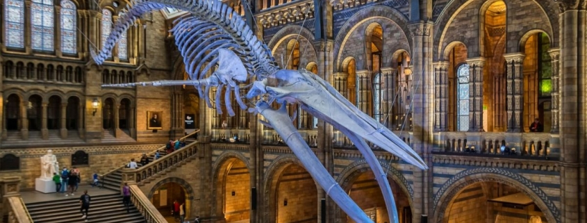 Natural The Blue Whale at the History Museum London