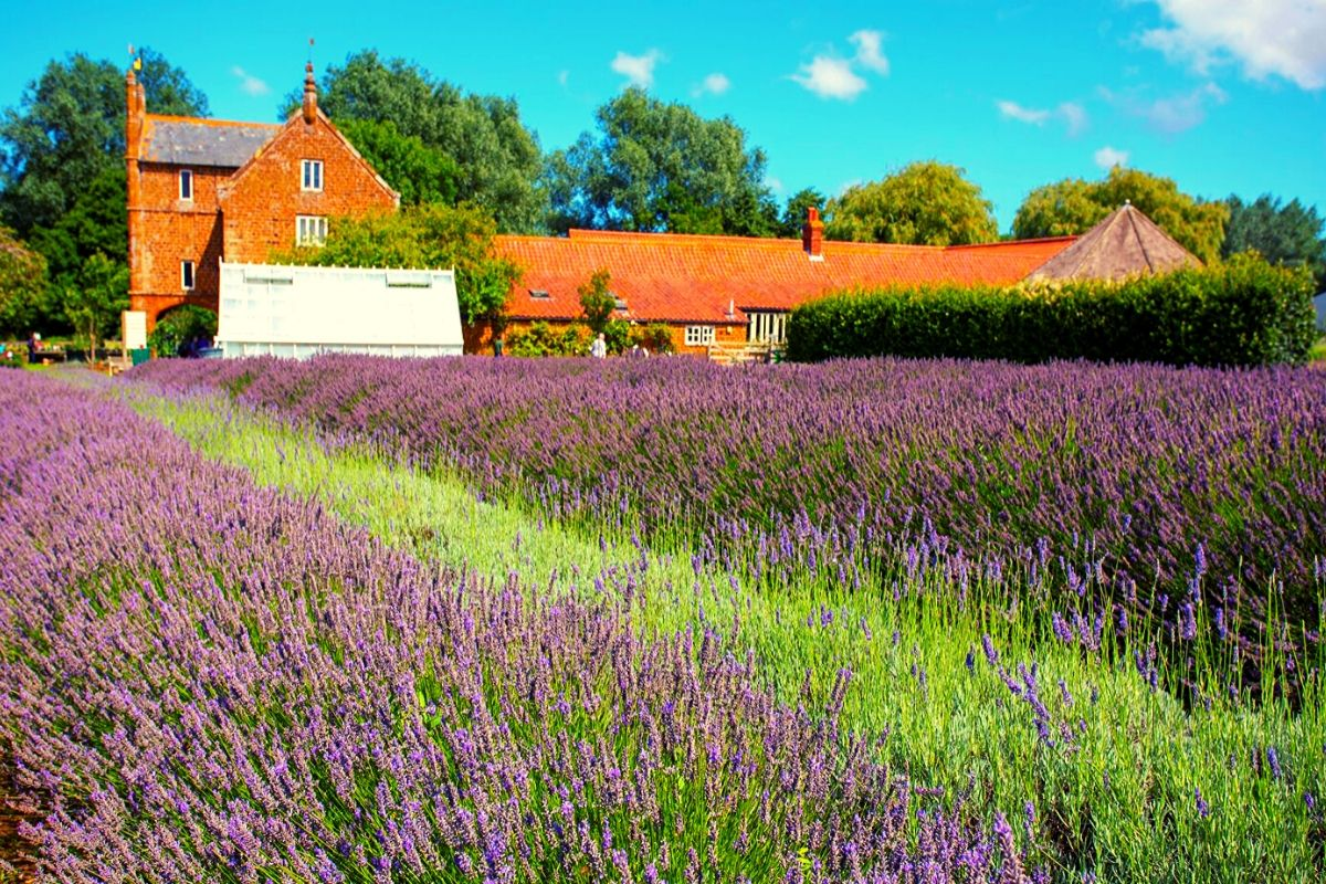 Norfolk Lavender near Hunstanton Beach