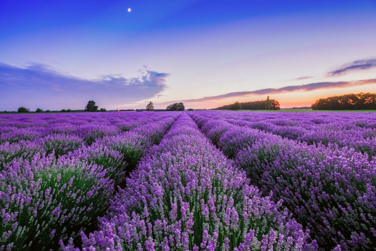 Rows of Lavender fields on an English lavender farm