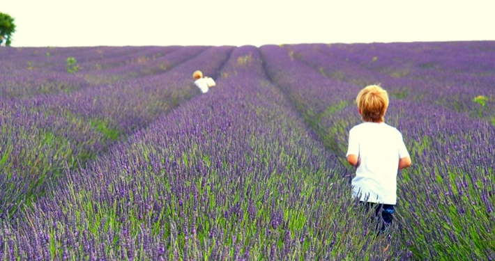 Rows of Lavender plants at the Hitchin Lavender Farm