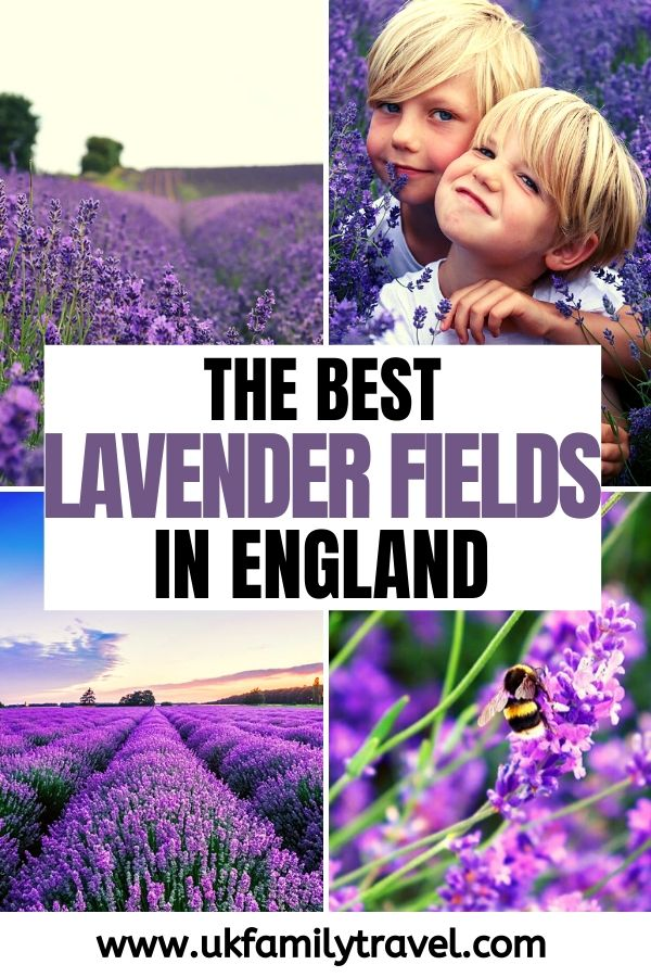 The Best Lavender Fields in England UK