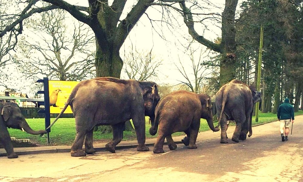 Elephants out for a walk at Whipsnade Zoo
