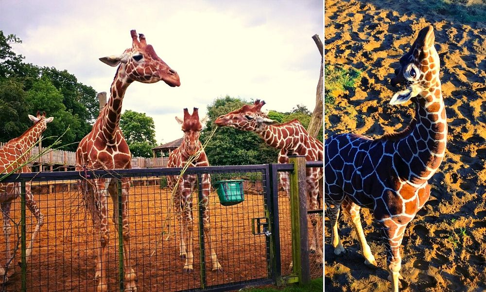 The Giraffes at Whipsnade Zoo